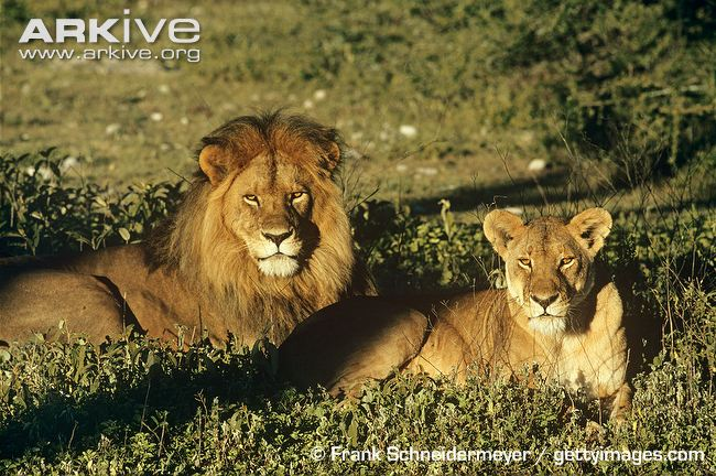 African Lion and Lioness by Frank Schneidermeyer