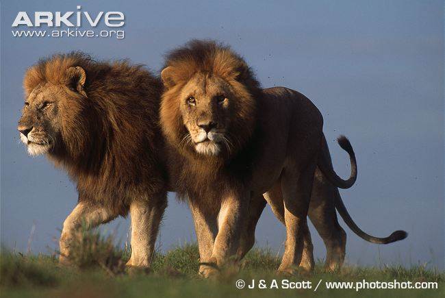 Two African Lions by J&A Scott