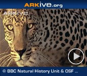 ARKive video - Arabian leopard - overview