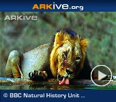 ARKive video - Asiatic lions drinking, male tolerates cubs