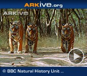 Arkive video - Bengal tigers walking
