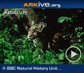ARKive video - Clouded leopard - overview
