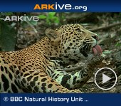ARKive video - Jaguar grooming itself