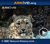 ARKive video - Snow leopard female and juvenile, adult hunting markhor down mountain slope