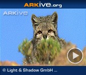 ARKive video - Andean cat - overview