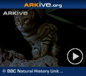 ARKive video - Black-footed cat - overview