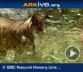 ARKive video - Bobcat - overview