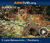 ARKive video - Caracal stalking guineafowl