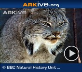 ARKive video - Canada lynx in snowy habitat, grooming