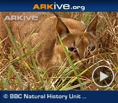 Caracal-stalking-guineafowl[1] - Arkive video