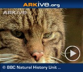 ARKive video - European wildcat - overview