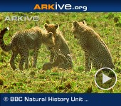 ARKive video - Female cheetah teaching cubs to hunt a young gazelle