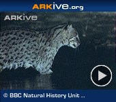 ARKive video - Fishing cat hunting