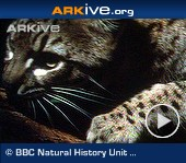 ARKive video - Geoffroy's cat - overview