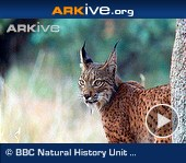Iberian-lynx-female-and-juvenile-interacting[1]