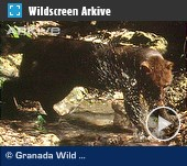 ARKive video - Jaguarundi hunting fish