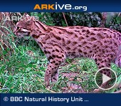 ARKive video - Leopard cat grooming