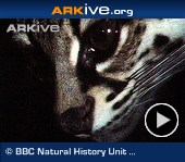 ARKive video - Margay - overview