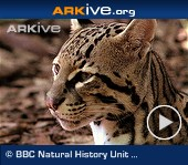 ARKive video - Ocelot - overview