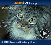 ARKive video - Pallas's cat - overview