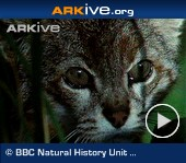 ARKive video - Pampas cat - overview (no species-specific audio)