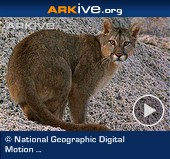 ARKive video - Patagonian puma - overview