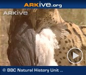 ARKive video - Servals catching and eating Abdim's storks