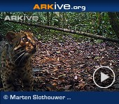 ARKive video - Marbled cat - overview