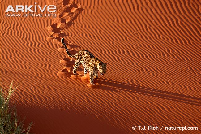 African leopard walking down a sand dune