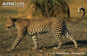 African leopard walking