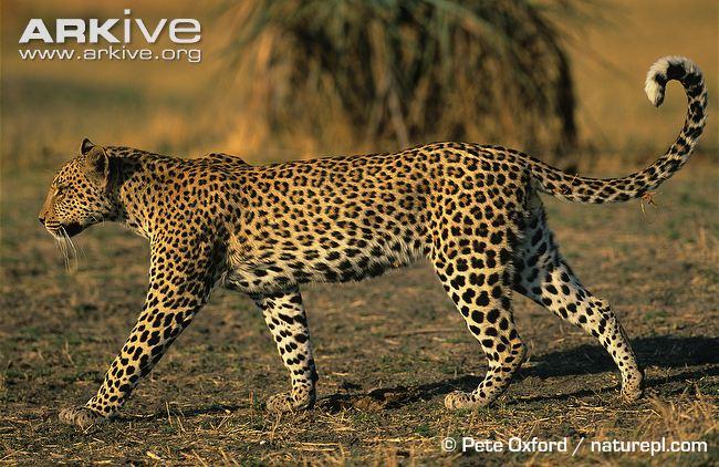 African leopard walking