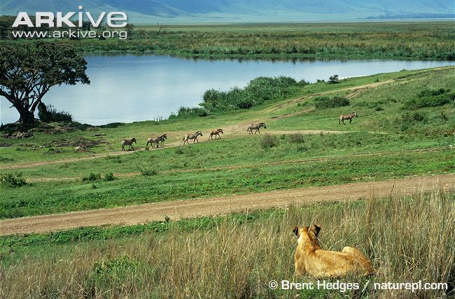 African-lioness-observing-zebra-herd by Brent Hedges