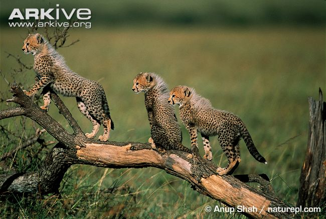 Cheetah cubs playing by Anup Shah