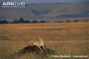 Cheetah using mound as observation post by Peter Blackwell