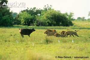 African lions hunting buffalo by Pete Oxford