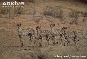 Immature cheetahs standing alert by Tony Heald