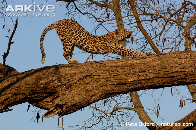 Male African leopard stretching