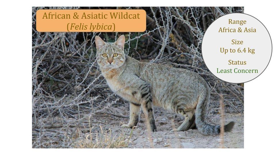 African & Asiatic Wild cat (Felis lybica)