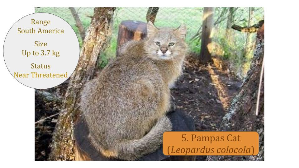 Pampas Cat (Leopardus colocola) - Leopardus Lineage
