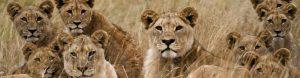Geckos Adventures - Pride of Lions South Africa