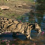 Clouded leopard Tours