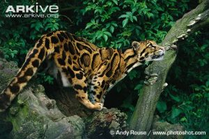 Clouded leopard (Neofleis nebulosa)