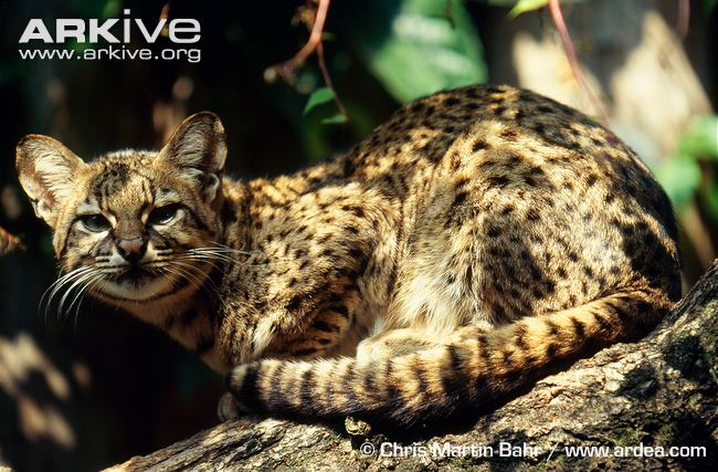 Geoffroys Cat crouching on branch