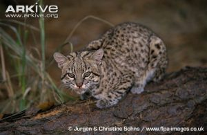 Geoffroys Cat on branch