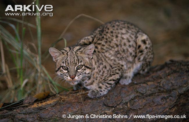 Geoffroys Cat on branch