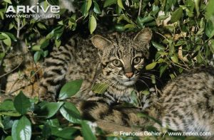 Geoffroys Cats resting under foliage