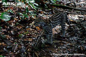 Juvenile ocelot standing in forest habitat