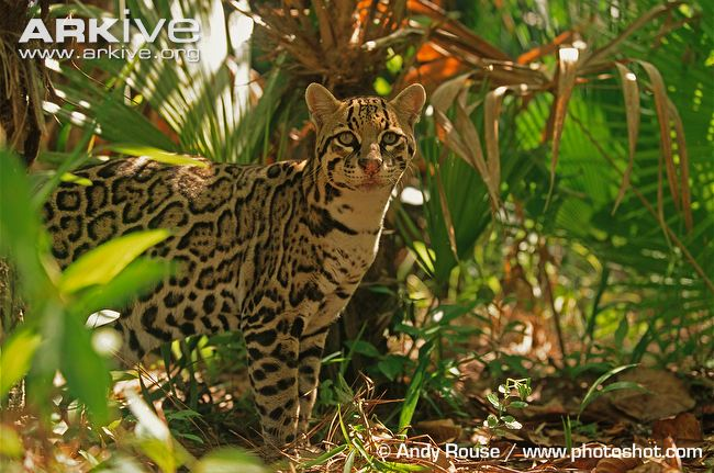 Ocelot in jungle habitat