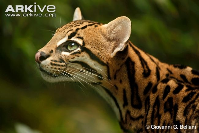 Ocelot portrait by Giovanni G Bellani