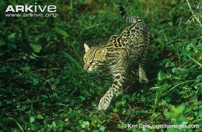 Ocelot walking through jungle habitat